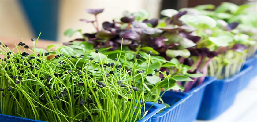 semillas germinados usos